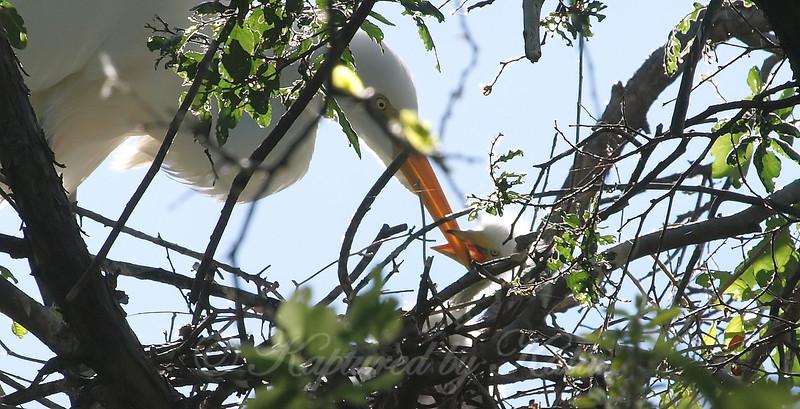 Great Egret Hatchling Getting Fed