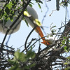 Great Egret Hatchling Getting Fed