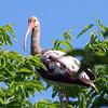 Juvenile American White Ibis View 2