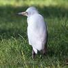 Little Blue Heron Fledgling