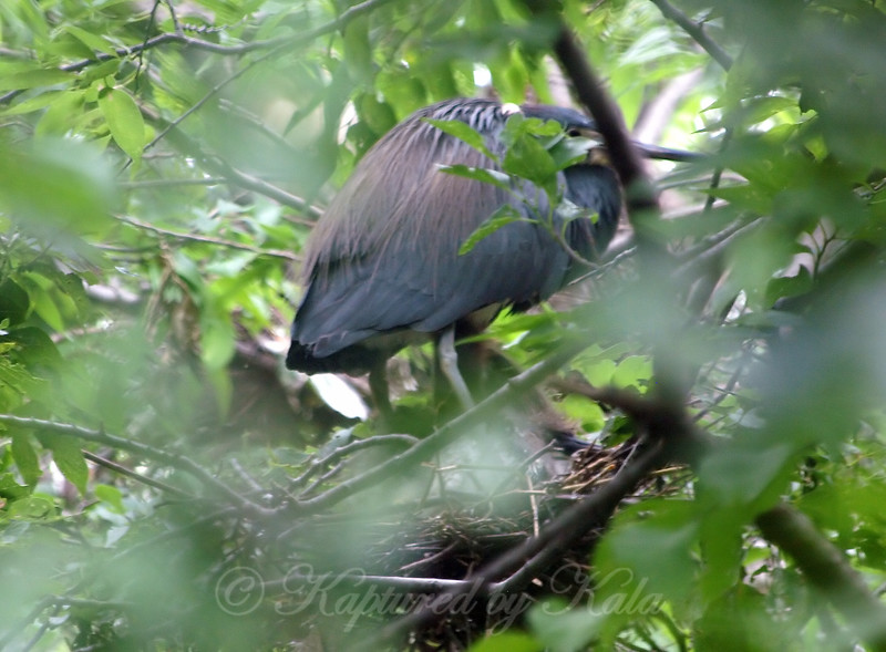 Tricolor Heron On Nest