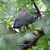 Tricolor Heron On Nest
