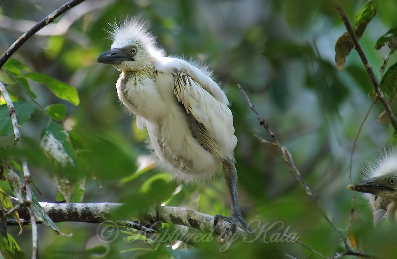 Baby Cattle Egret Explores Outside The Nest