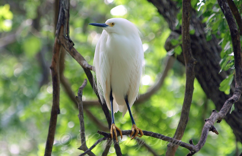 Snowy Egret Is In The Rookery View 1