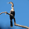 Female Anhinga In Breeding Colors View 1