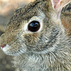 Rabbit Eye