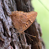 Tawny Emperor With Closed Wings