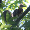 Tricolor Heron Fledglings