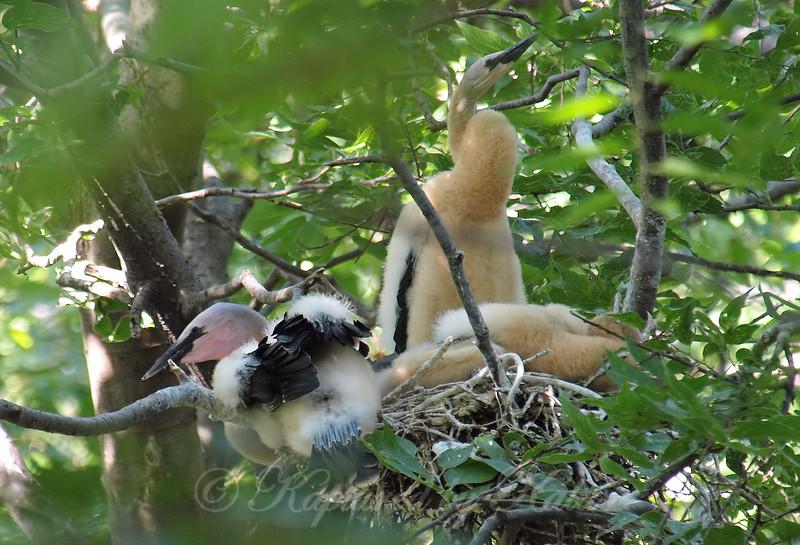 Giant Fluffy Chicks