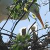 Two Great Egret Hatchlings