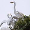 Feeding Great Egret Fledglings Is Violent 12 of 15