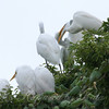 Feeding Great Egret Fledglings Is Violent 8 of 14