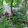 Snowy Egret Sitting On Nest View 2