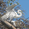 Great Egret Mating Behavior Part 4 of 7