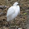 Snowy Egret Fledgling