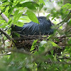 Little Blue Heron Nest View 1