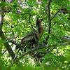 Anhinga Yawning On The Nest
