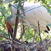 Feeding Baby Ibis
