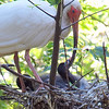 Baby Ibis Stroking Parent's Bill