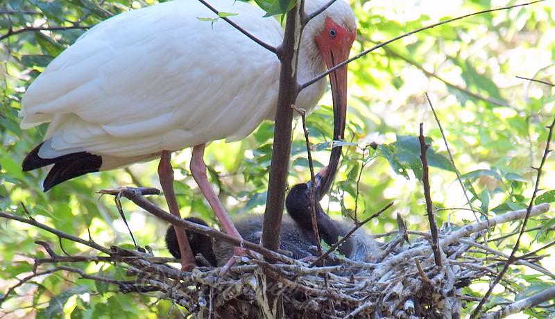 Baby Ibis Stroking Parent's Bill