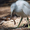 Little Blue Heron Fledgling Trying To Eat a Fishing Lure