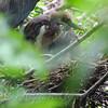 Baby Tricolor Heron