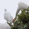 Feeding Great Egret Fledglings Is Violent 9 of 14