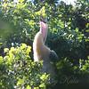 Juvenile Anhinga Calling For Food
