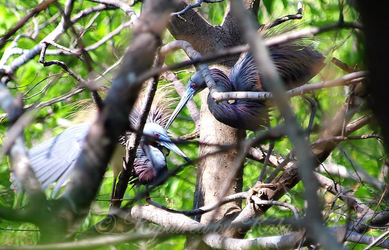 Tricolor Heron Courtship Part 4