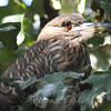 Portrait Of A Juvenile Black-Crowned Night Heron