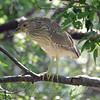 Juvenile Black-crowned Night Heron View 1
