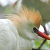 Cattle Egret Portrait A