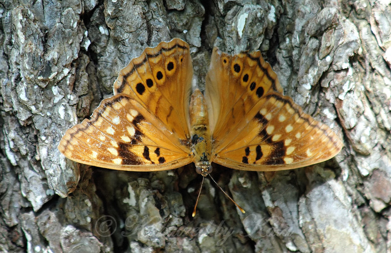 Tawny Emperor With Open Wings