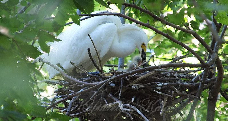 Snowy Egret With Babies