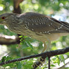 Juvenile Black-crowned Night Heron View 2