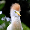 Cattle Egret Portrait B