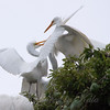 Feeding Great Egret Fledglings Is Violent 11 of 15