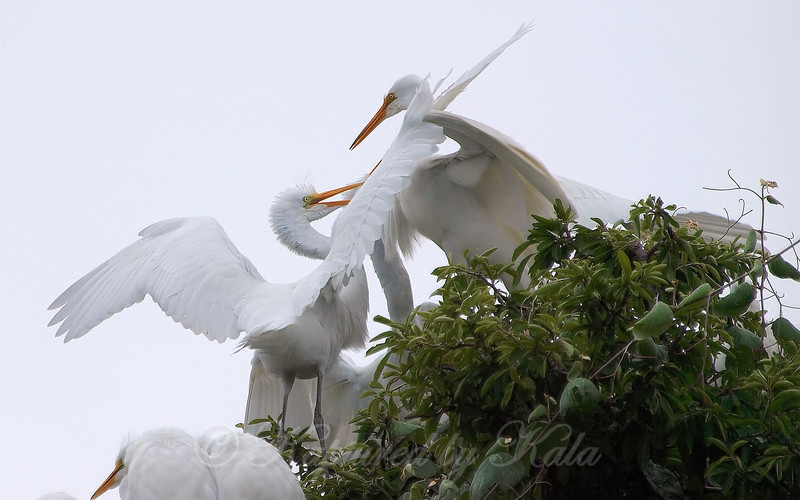 Feeding Great Egret Fledglings Is Violent 11 of 14