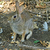 Last Photo Of The Rookery Rabbit