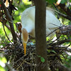 Placing Sticks In The Nest View 1