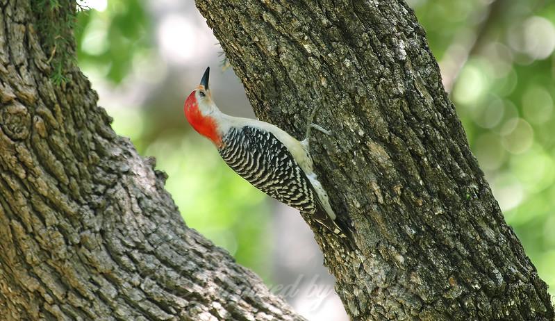 Rookery Woodpecker