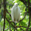 Snowy Egret Is In The Rookery View 2