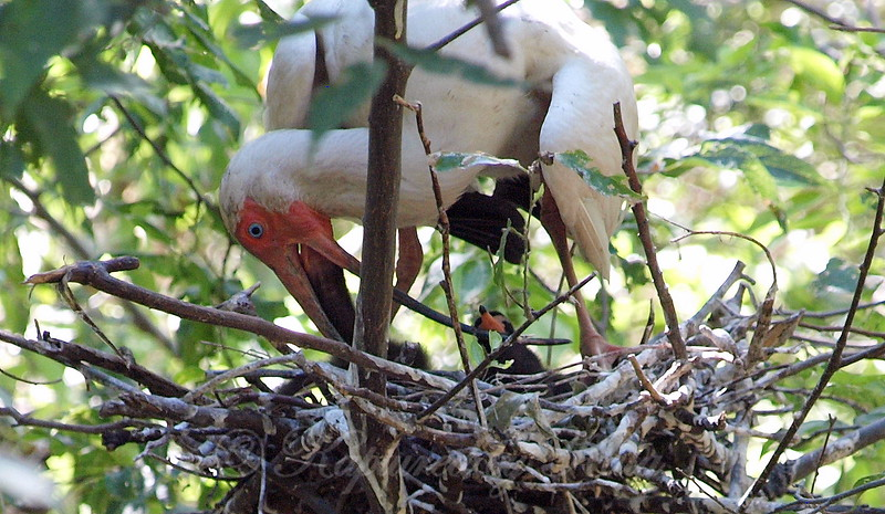Hungry Baby Ibis