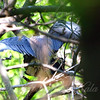 Tricolor Heron Mating View 2
