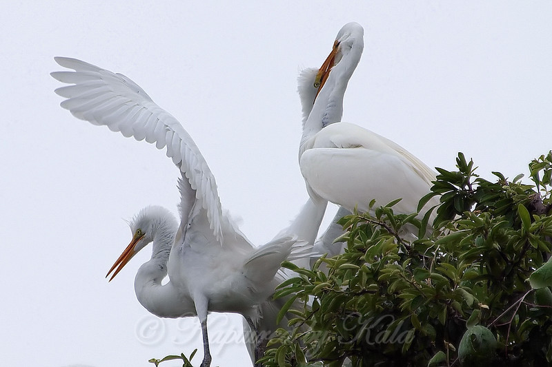 Feeding Great Egret Fledglings Is Violent 6 of 14