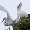 Feeding Great Egret Fledglings Is Violent 6 of 14