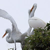 Feeding Great Egret Fledglings Is Violent 6 of 15