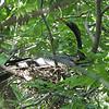 Papa Anhinga On The Nest View 2