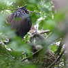 Tricolor Heron Parent And Nestlings