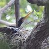 Anhinga Nest